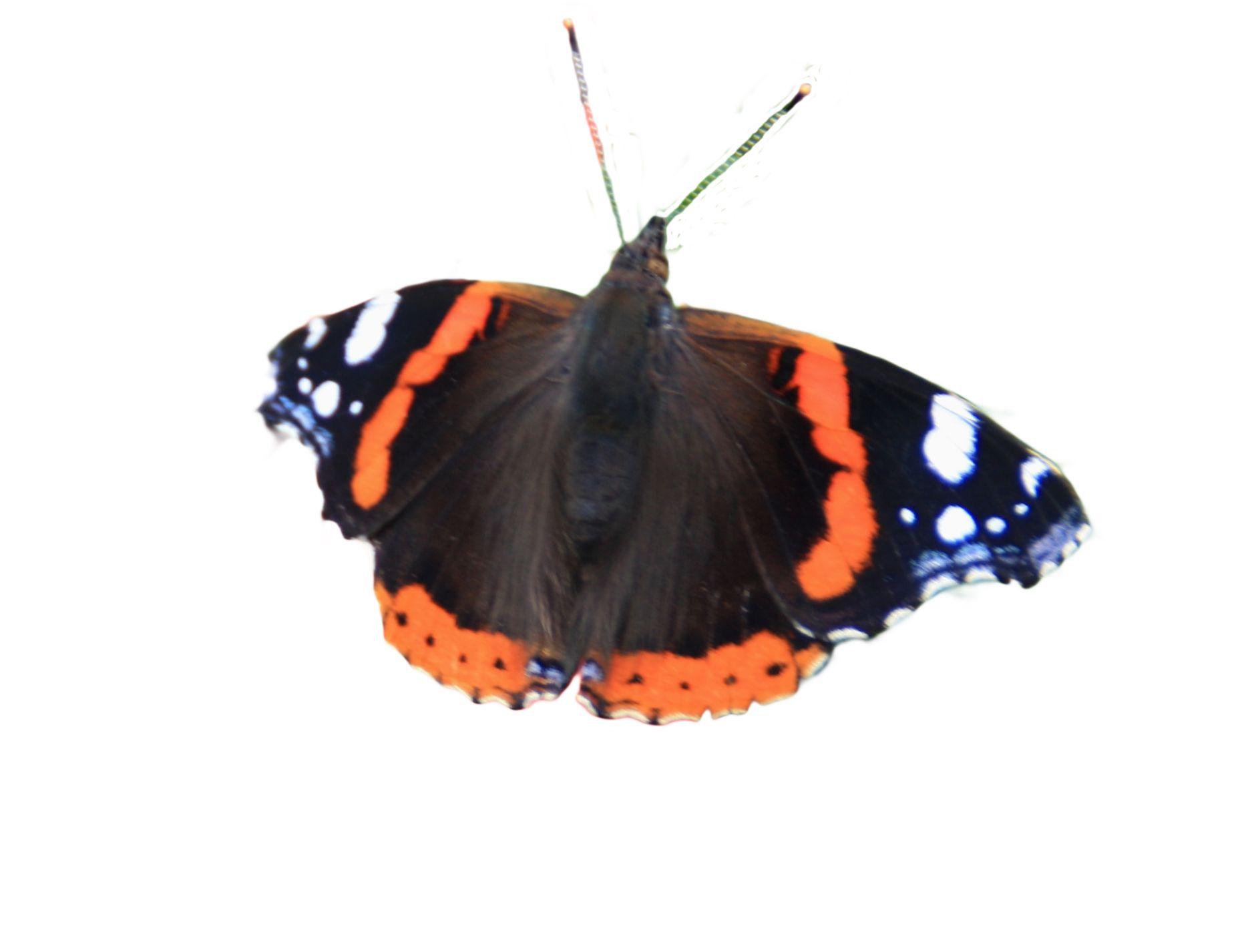 Admiral #schmetterling #insekten | Insekten, Schmetterling in Schmetterlinge Insekten
