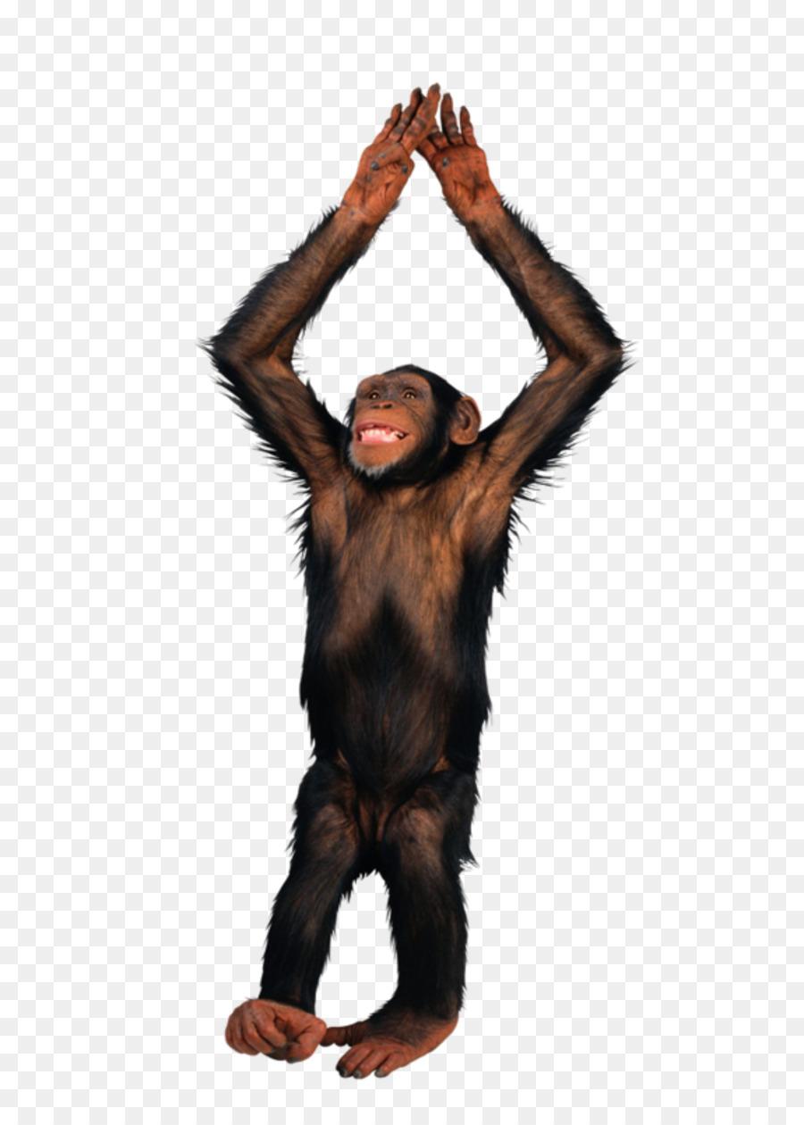 Affe Schimpanse-Image-Datei-Formate - Paar Affen Png innen Affe De Kostenlos