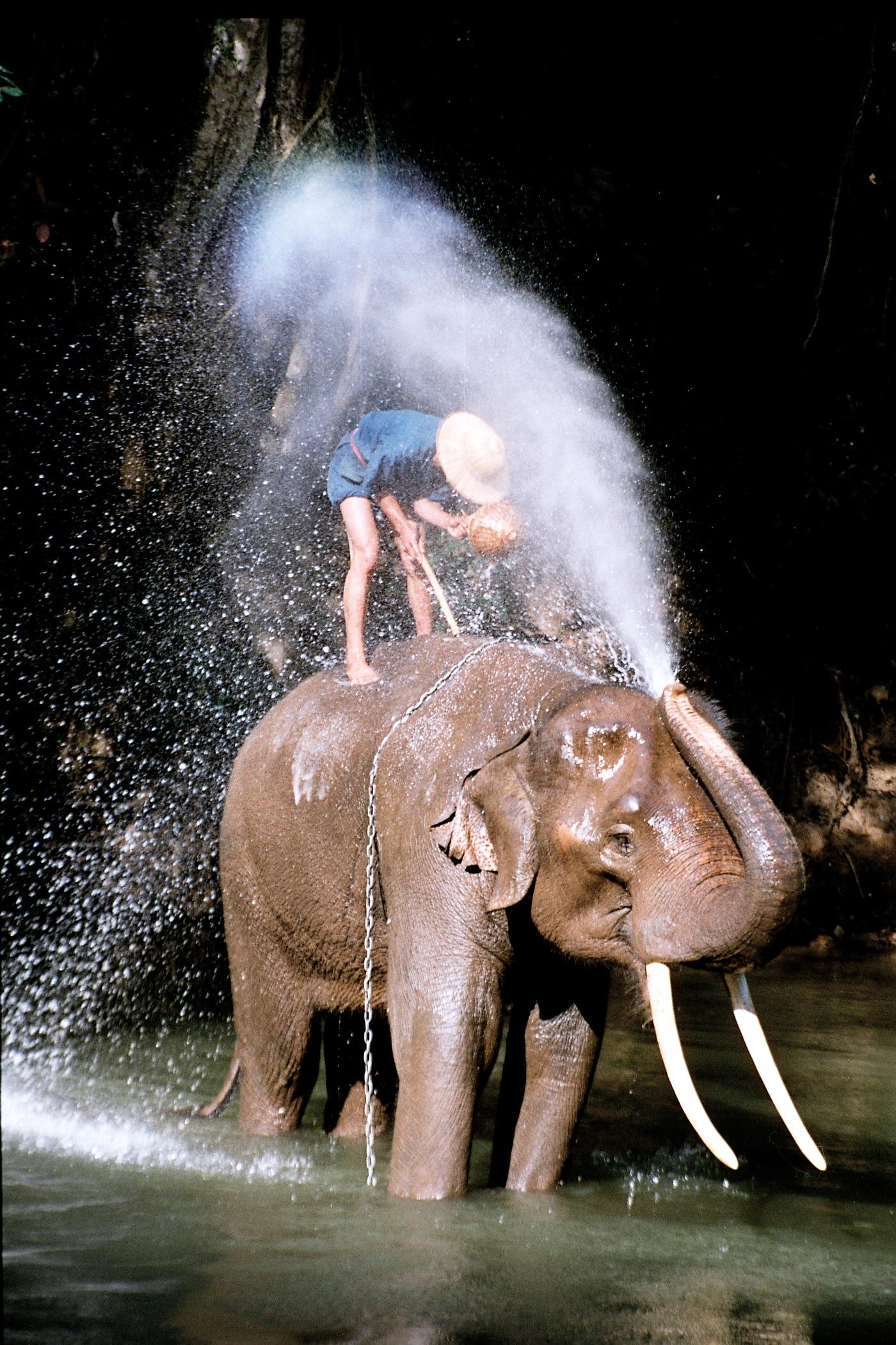 Afrikanische Und Asiatische Elefantenköpfe mit Unterschied Afrikanischer Und Indischer Elefant