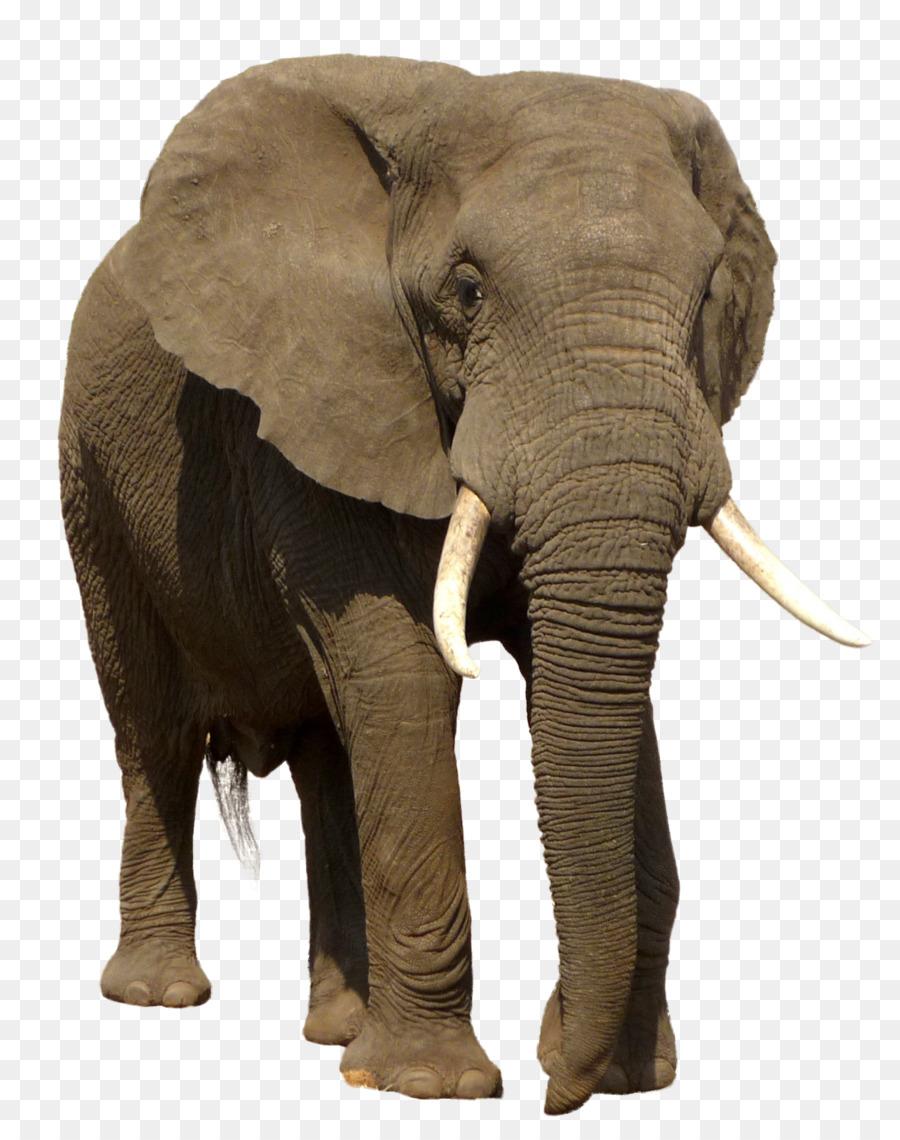 Afrikanischer Elefant Indischer Elefant Trophäe Jagd bei Indische Und Afrikanische Elefanten