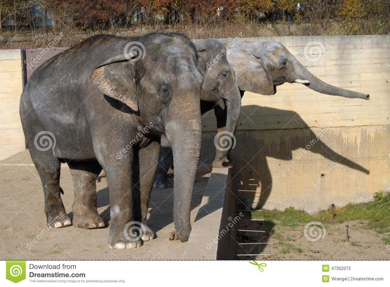 Afrikanischer Elefant Und Indische Elefanten Stockbild ganzes Indische Und Afrikanische Elefanten