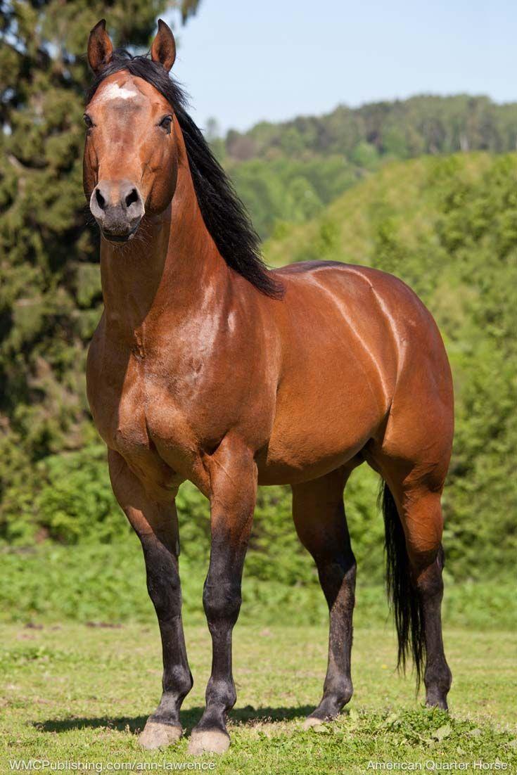 American Quarter Horse. #horse #horses (Mit Bildern ganzes Pferderassen Von A Bis Z Mit Bildern