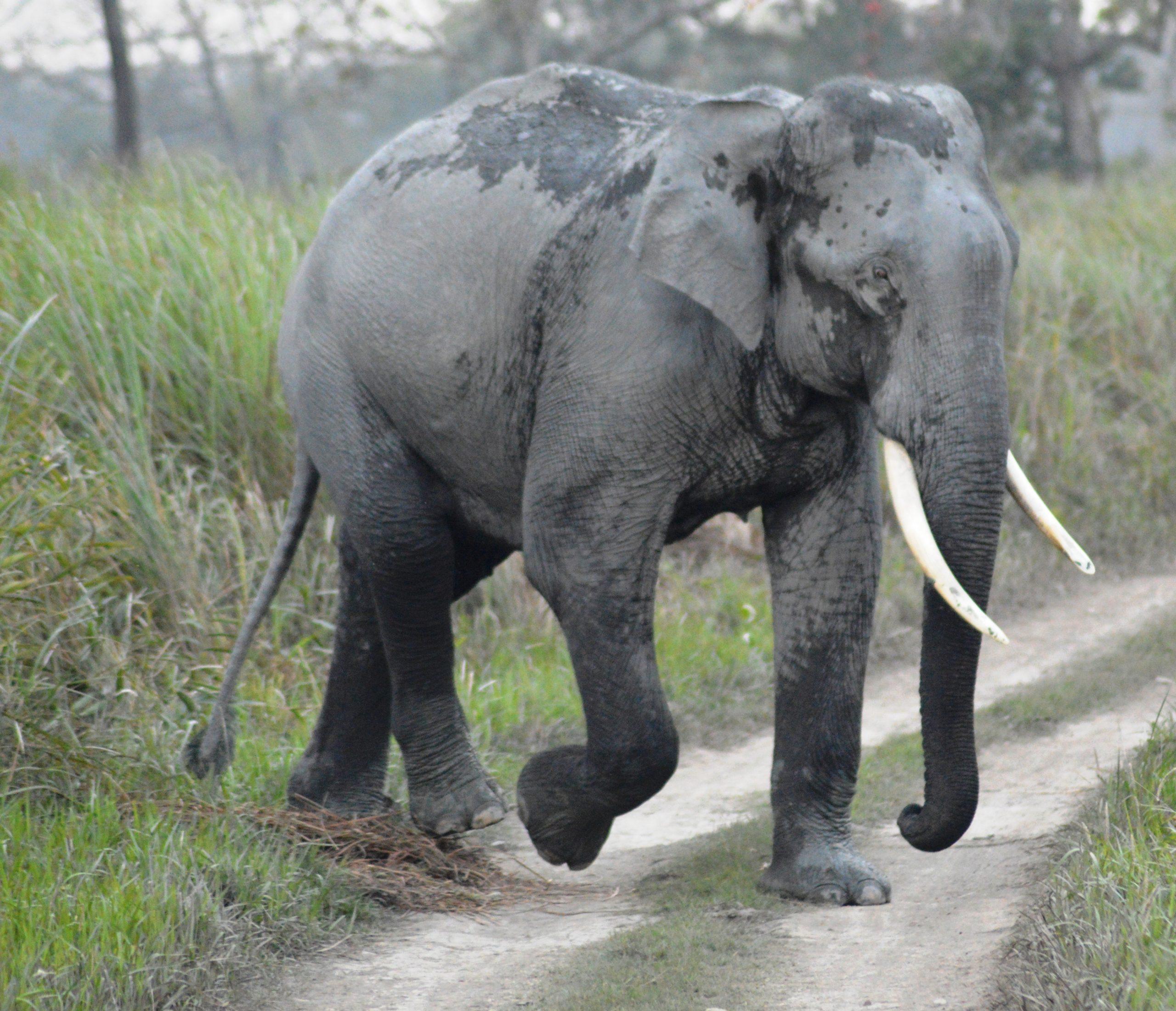 Asiatischer Elefant – Wikipedia bestimmt für Indische Und Afrikanische Elefanten
