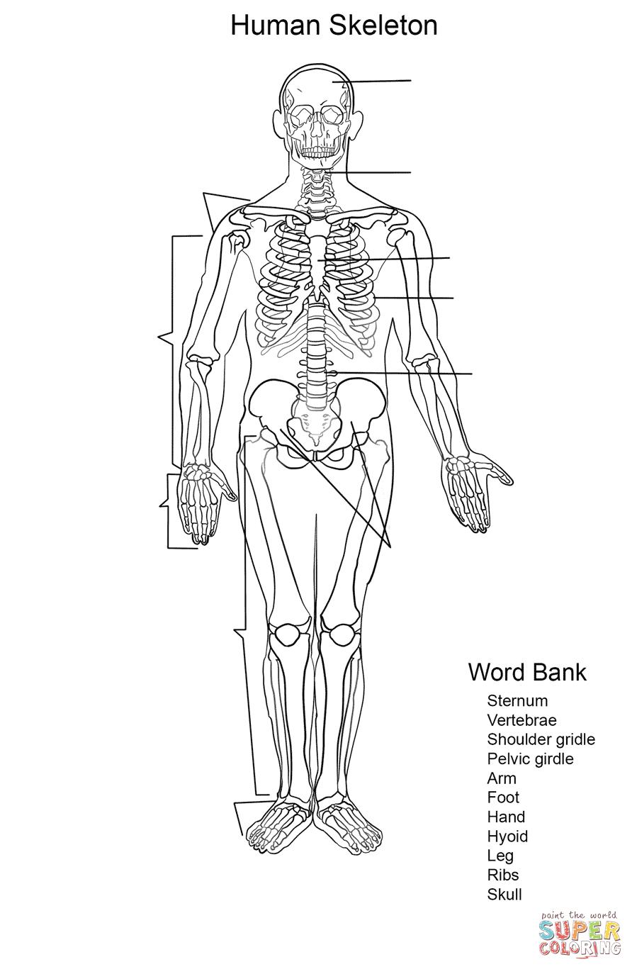 Ausmalbild: Arbeitsblatt, Das Menschliche Skelett für Skelett Ausdrucken