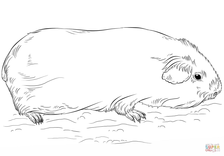 Ausmalbild: Meerschwein   Ausmalbilder Kostenlos Zum Ausdrucken mit Ausmalbild Meerschweinchen