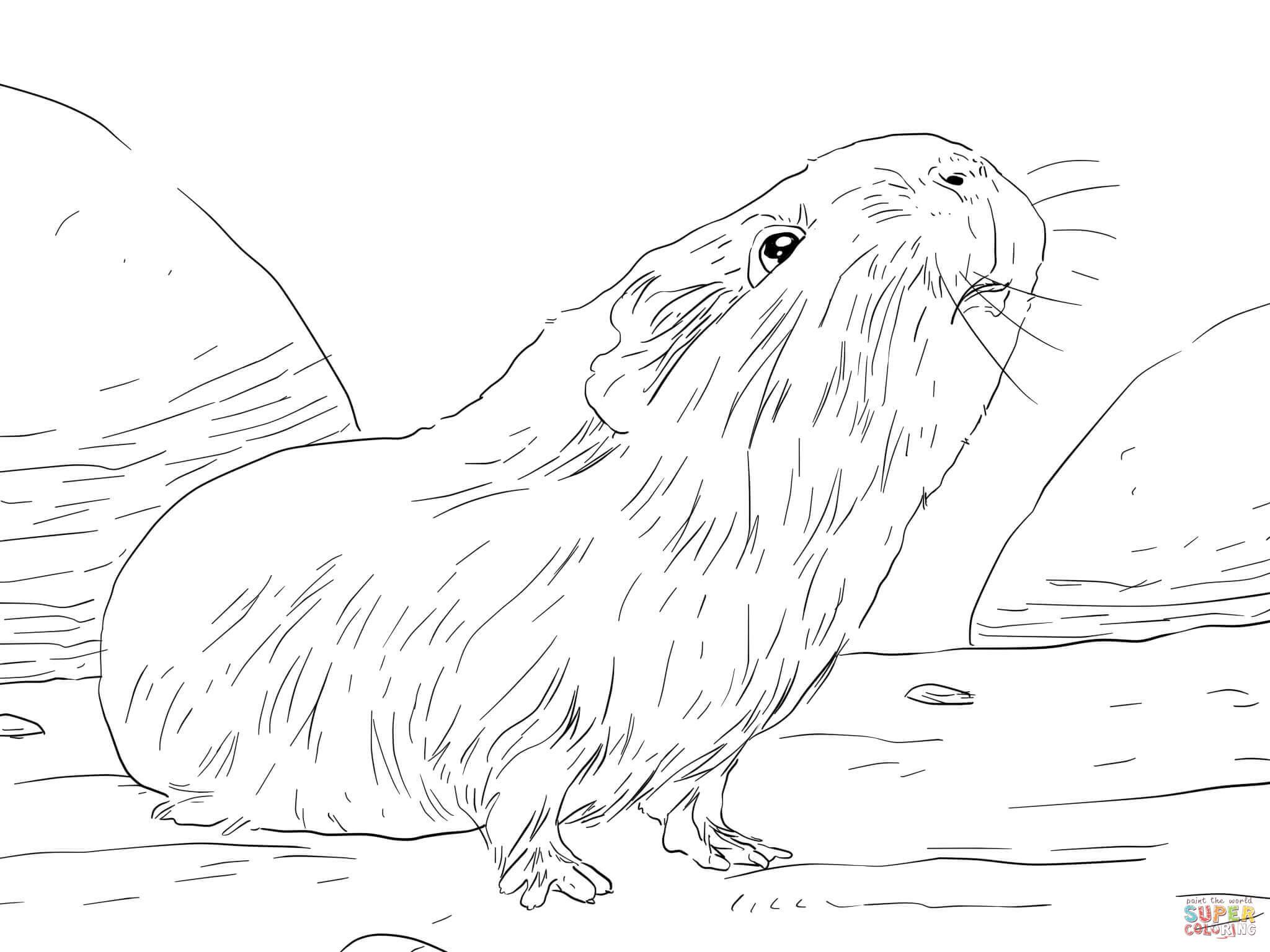 Ausmalbild: Neugieriges Meerschweinchen   Ausmalbilder innen Ausmalbild Meerschweinchen