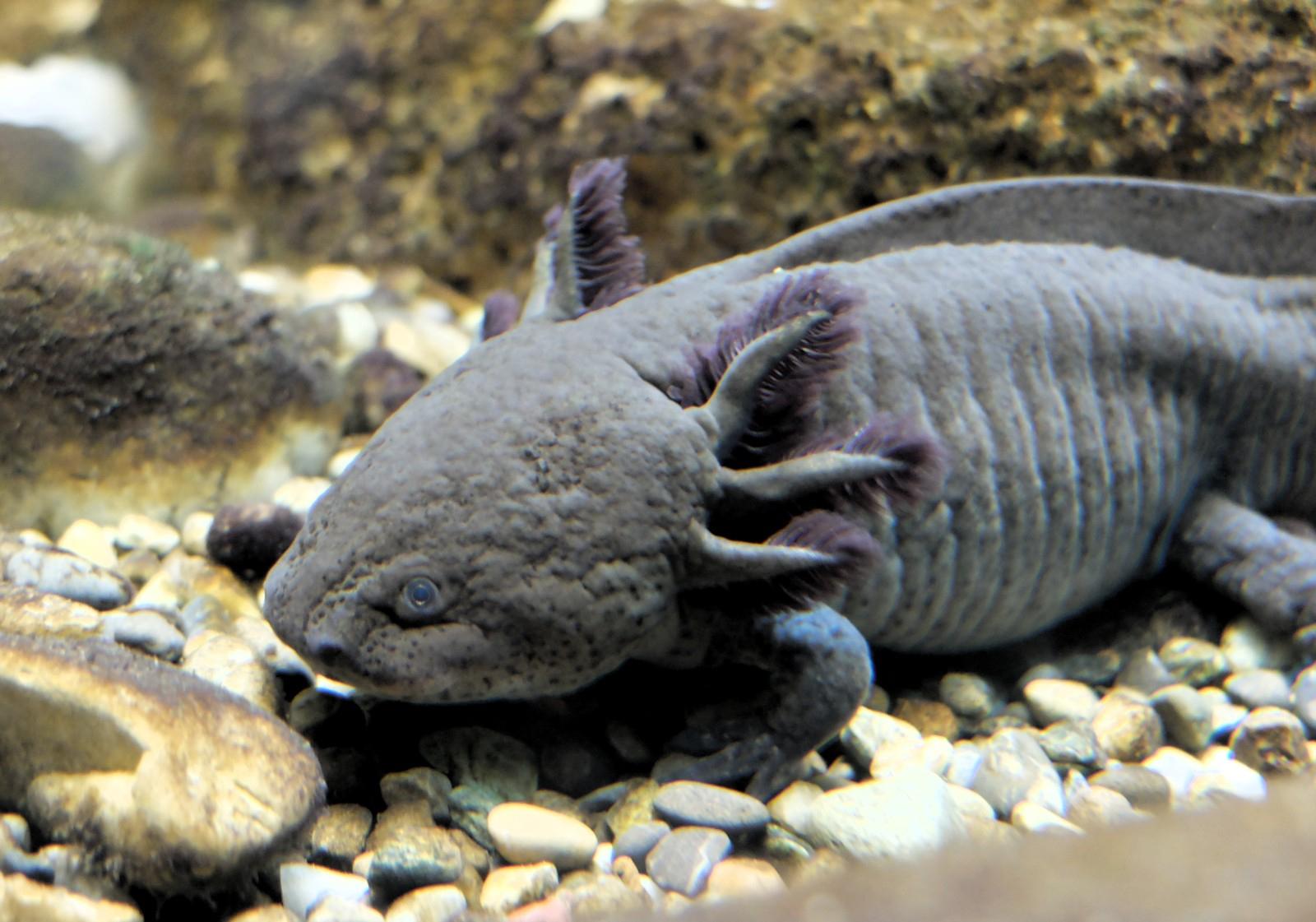 Axolotl – Wikipedia verwandt mit Lachende Fische