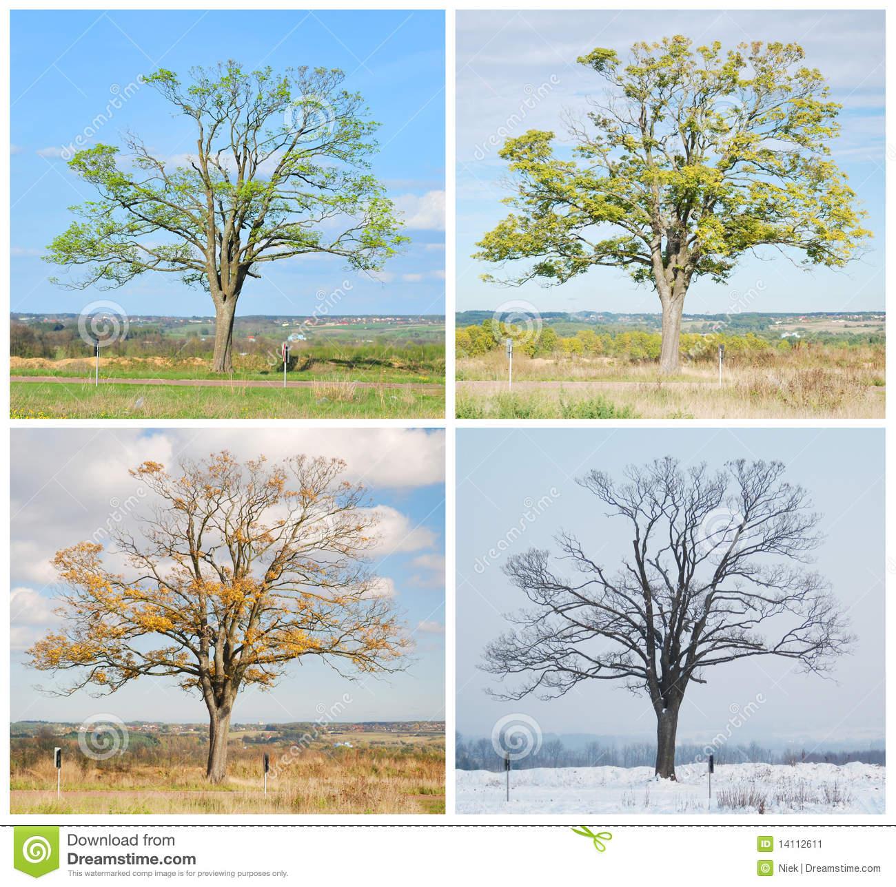 Baum Mit Vier Jahreszeiten Stockbild. Bild Von Abbildung in 4 Jahreszeiten Baum