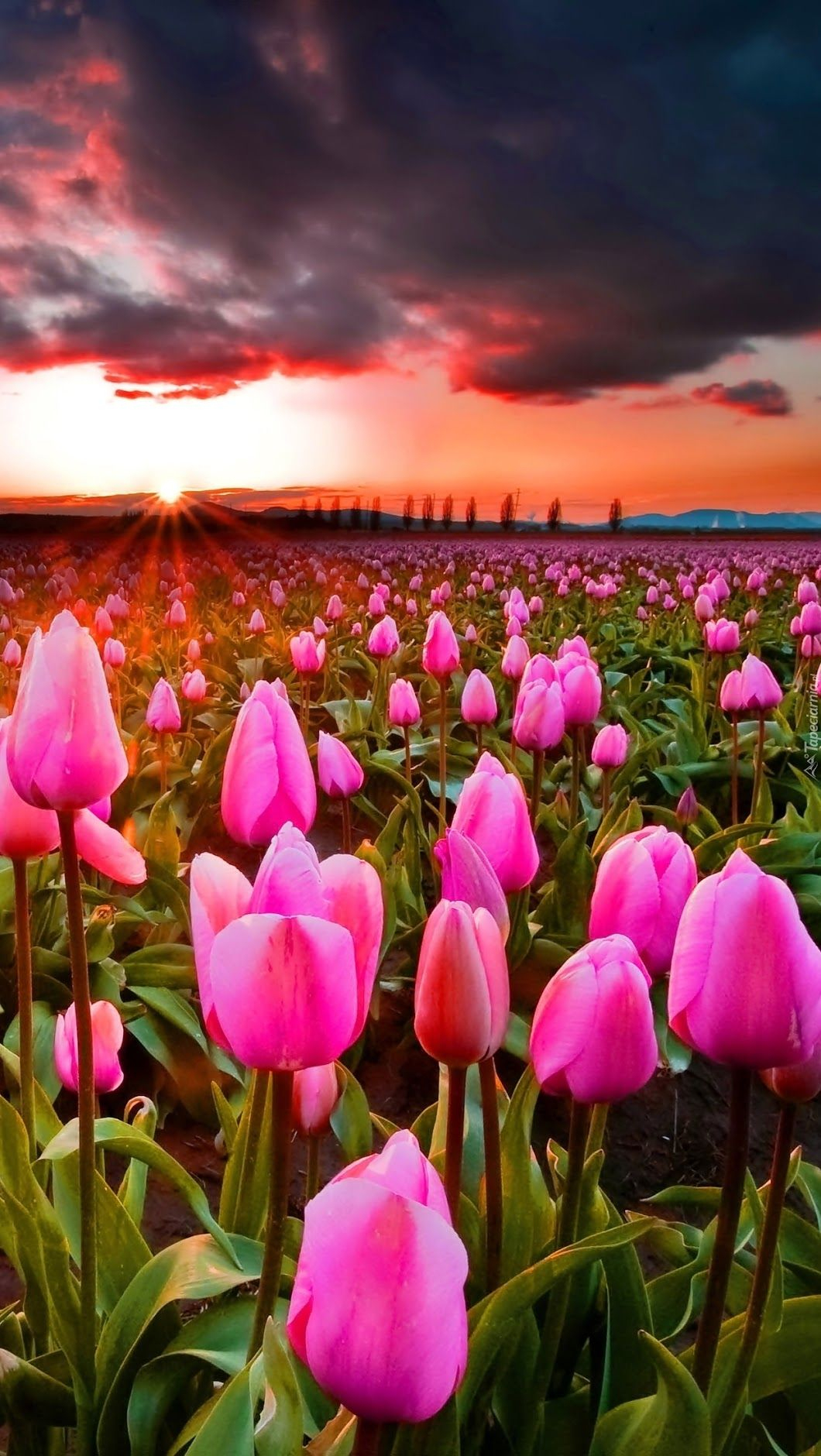 Beautiful.༺✿༻ (Mit Bildern) | Tulpen Garten, Feld Mit verwandt mit Blumenbilder Kostenlos Herunterladen