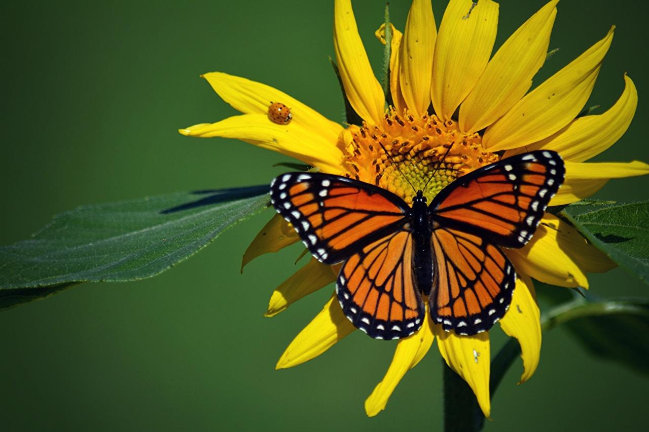Bilder Von Monarchfalter Insekten Schmetterlinge Tiere für Schmetterlinge Insekten