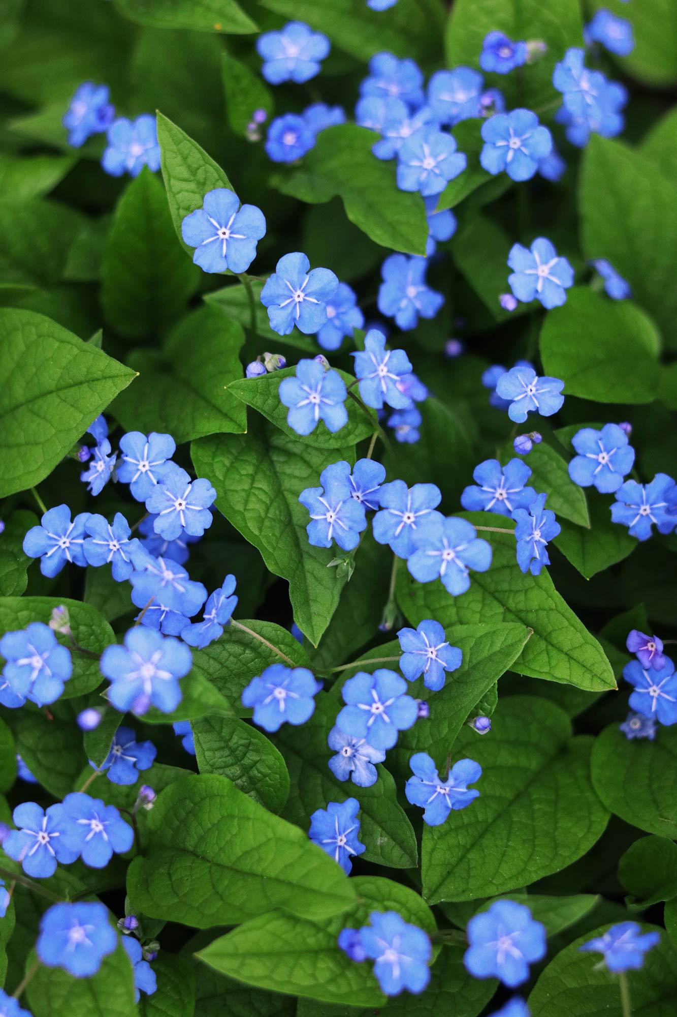 Blaue Blumen - Kostenlose Bilder Download | Titania Foto innen Bilder Blumen Kostenlos