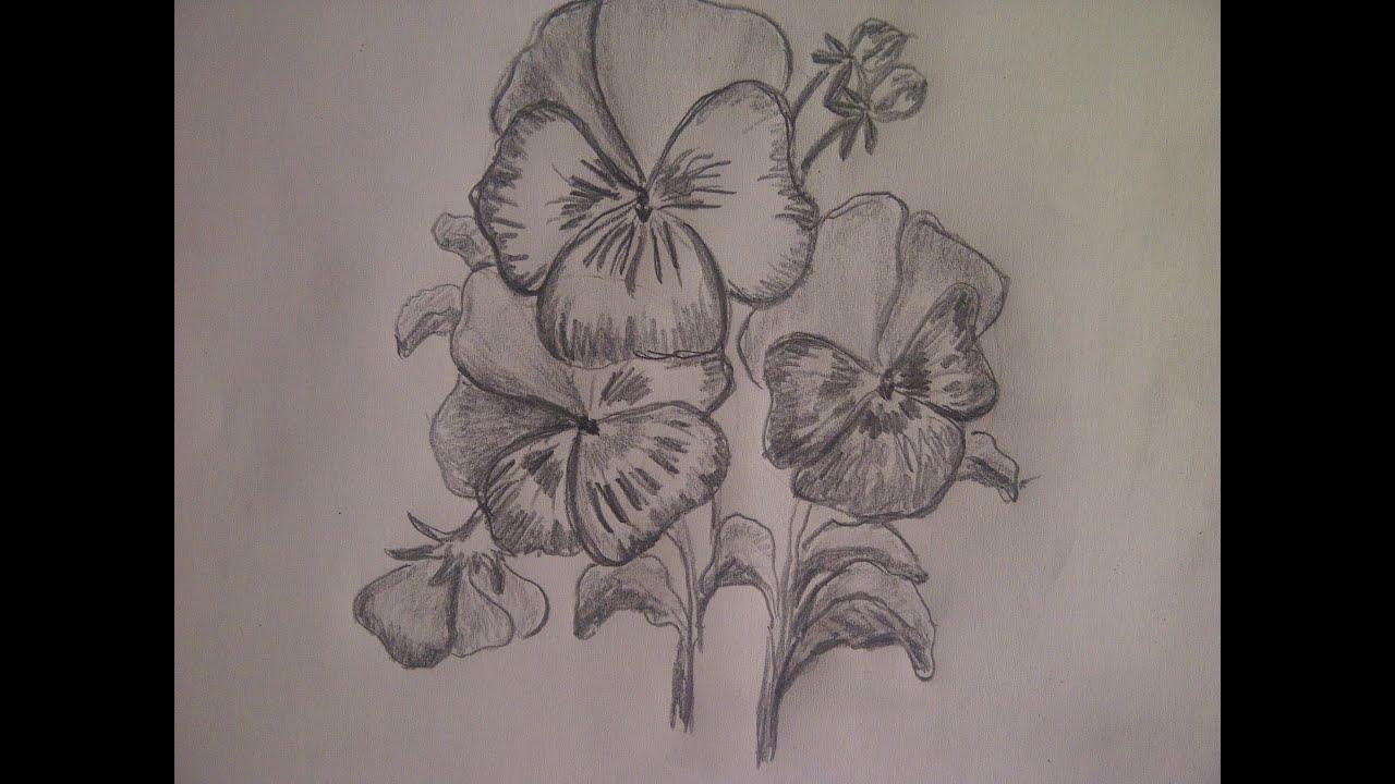 Blume Zeichnen. Stiefmütterchen (Veilchen) Zeichnen. über Blume Zeichnung Bleistift