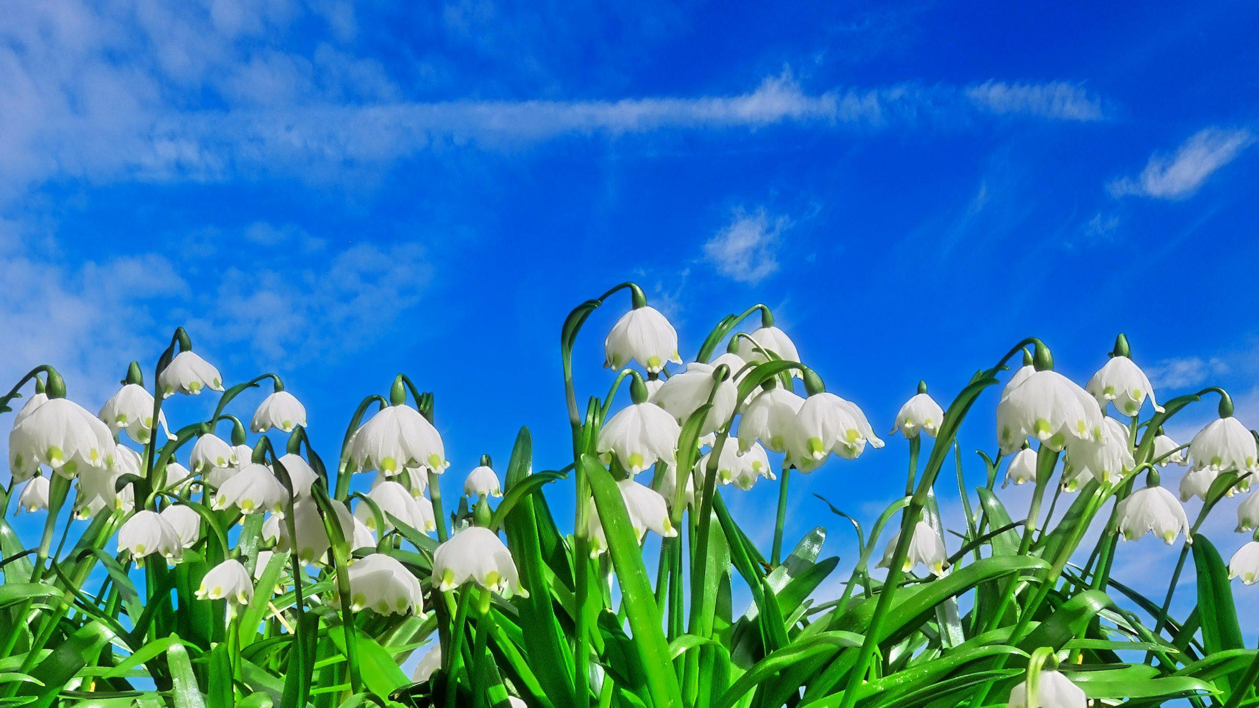Blumenbilder Frühling Kostenlos bei Blumenbilder Kostenlos Herunterladen