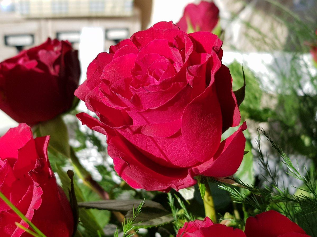 """Blumenbilder On Twitter: """"rote #rosen. Rosen Gehören Zu Den in Blumenbilder Rosen"""