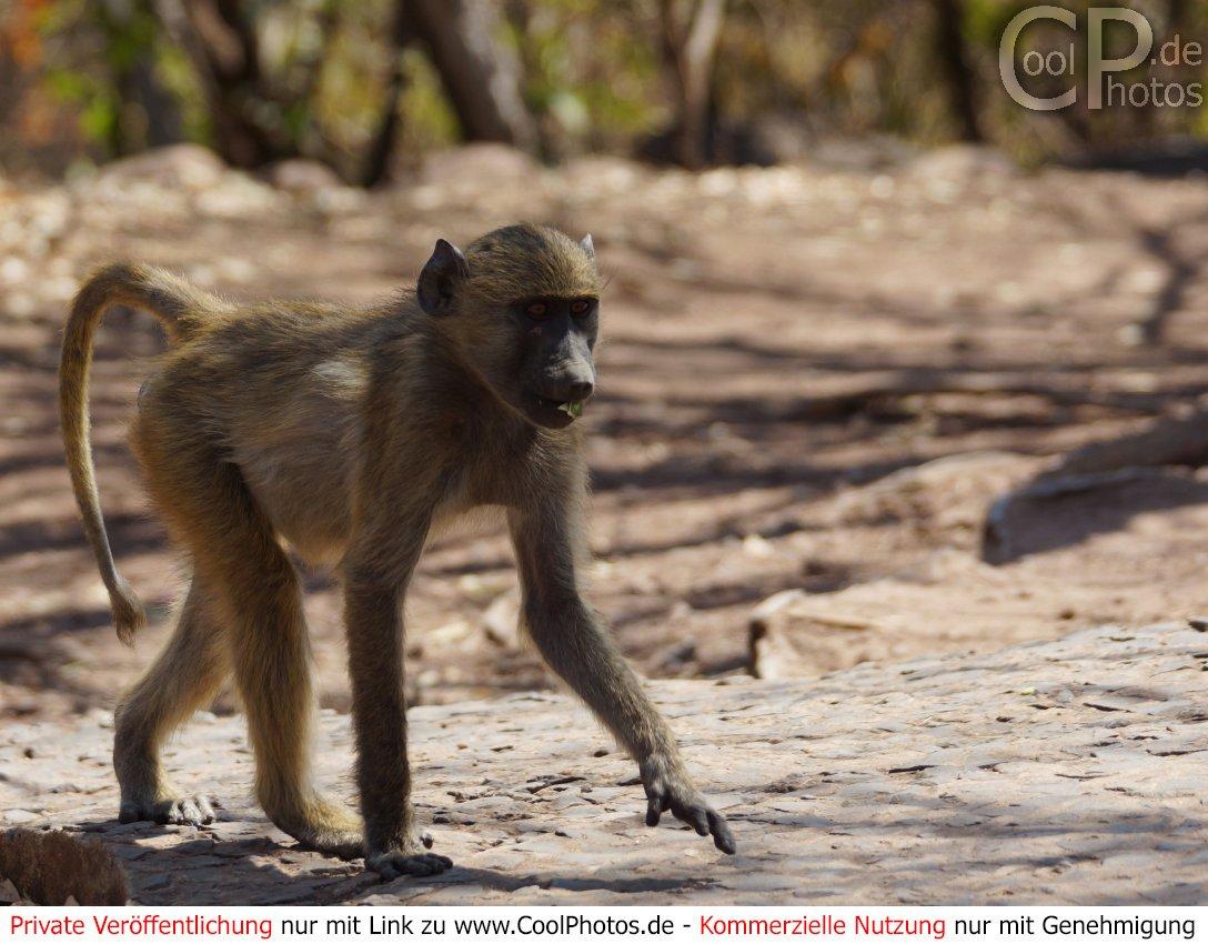 Coolphotos.de - Grußkarten - Affen bei Affe De Kostenlos