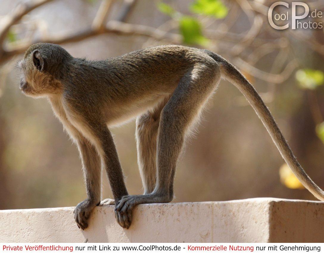 Coolphotos.de - Grußkarten - Affen Und Meerkatzen für Affe De Kostenlos