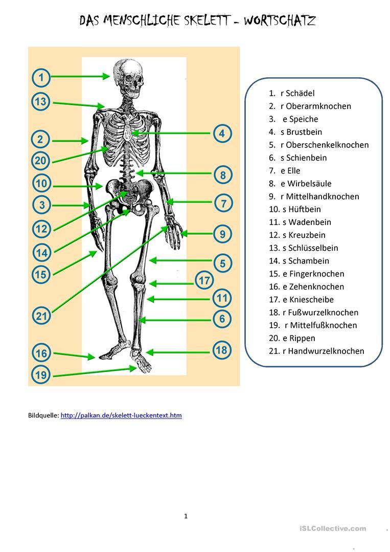 Das Menschliche Skelett - Deutsch Daf Arbeitsblatter bestimmt für Skelett Ausdrucken