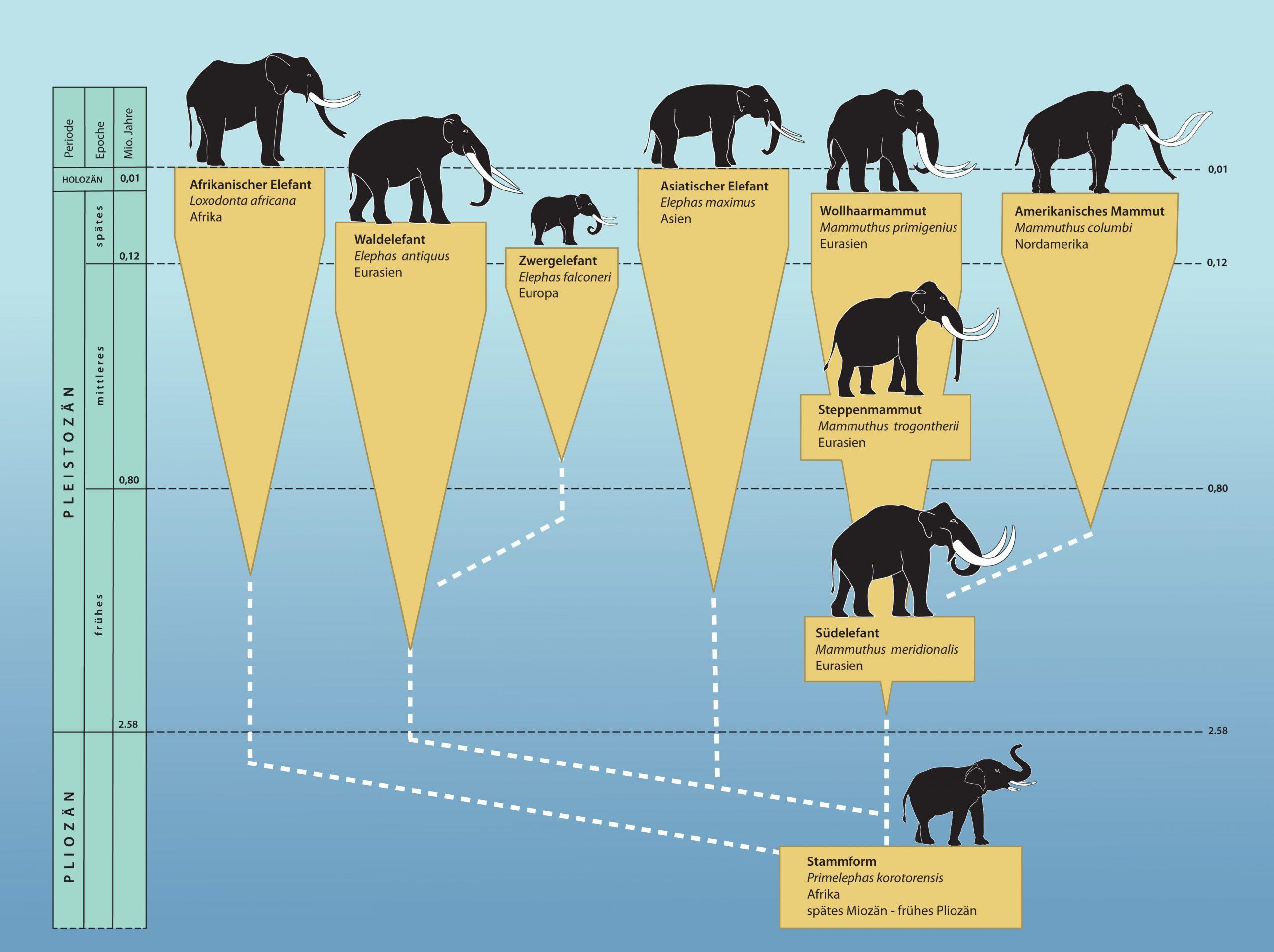 Das Wollhaarmammut | Mammut Museum für Unterschied Afrikanischer Und Indischer Elefant