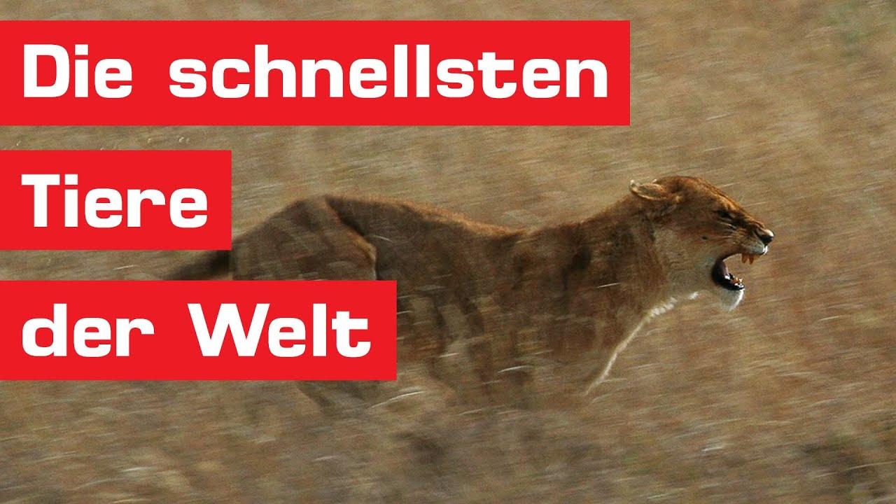 Die 15 Schnellsten Tiere Der Welt in Was Ist Das Schnellste Tier Der Welt
