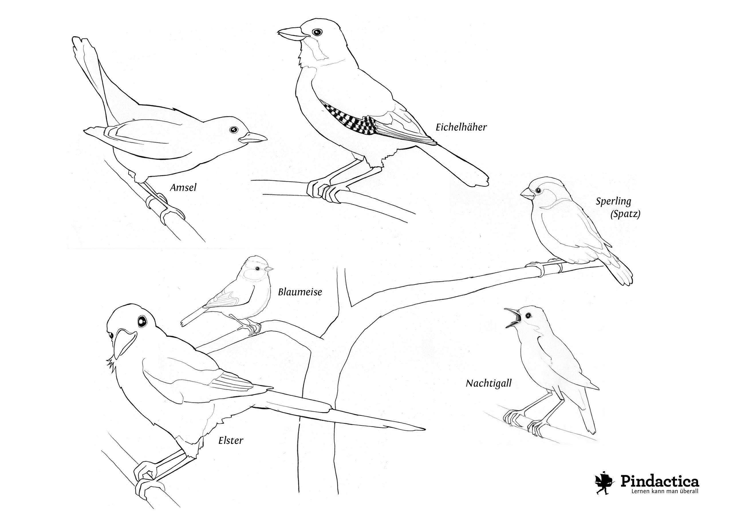 Dinosaurier Und Andere Ausmalbilder – Pindactica innen Ausmalbild Amsel