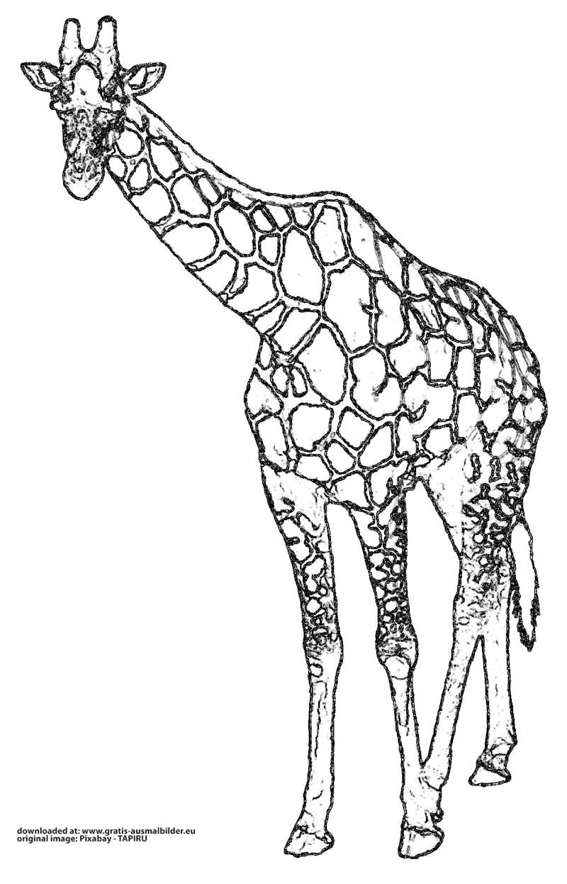 ▷ Giraffe - Gratis Ausmalbild in Giraffe Ausmalbild