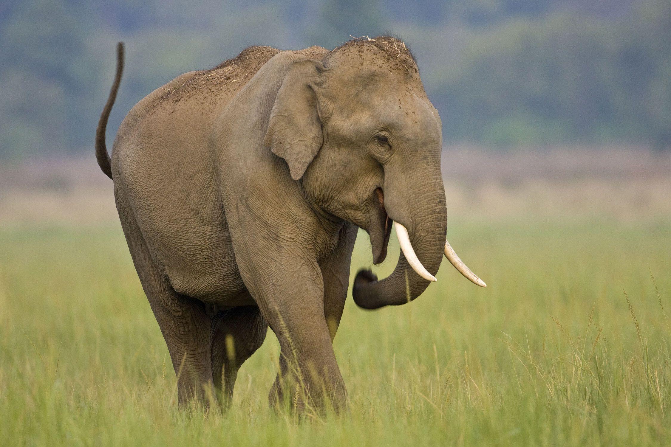 Entdecken Sie Die Elefanten Von Indien Und Südostasien innen Indische Und Afrikanische Elefanten