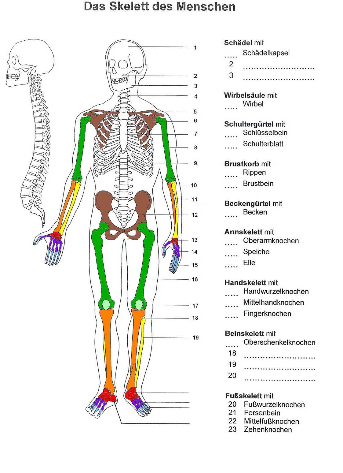 Farben Des Skeletts mit Skelett Ausdrucken