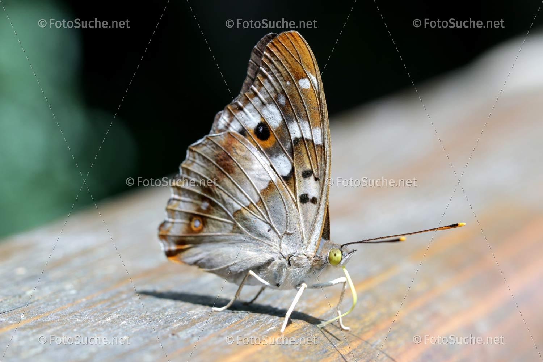 Foto Schmetterling Insekten Rüssel in Schmetterling Insekt