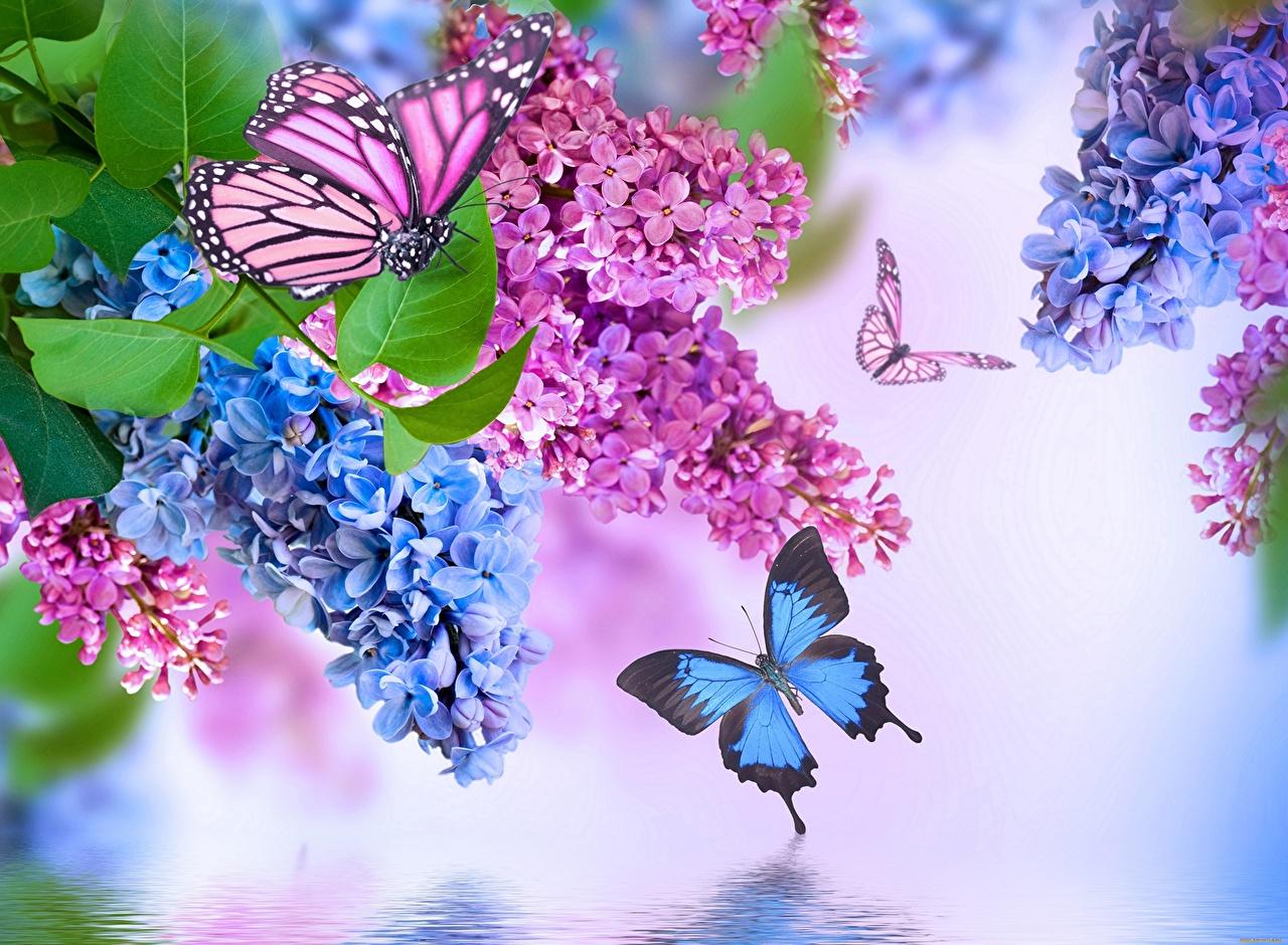 Fotos Insekten Schmetterlinge Blüte Syringa Tiere über Hintergrundbilder Blumen Und Schmetterlinge