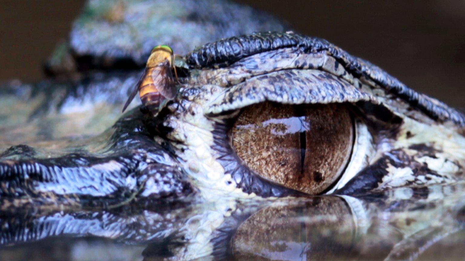 """Frage & Antwort: Warum Sagt Man """"krokodilstränen""""? - N-Tv.de mit Warum Weinen Krokodile Beim Fressen"""