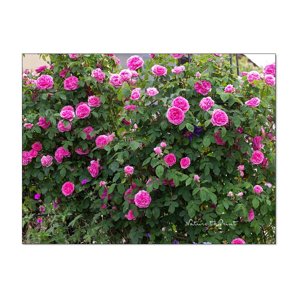 Geliebte Englische Rosen. Romantische Königinnen Ohne Allüren.   bestimmt für Blumenbilder Rosen