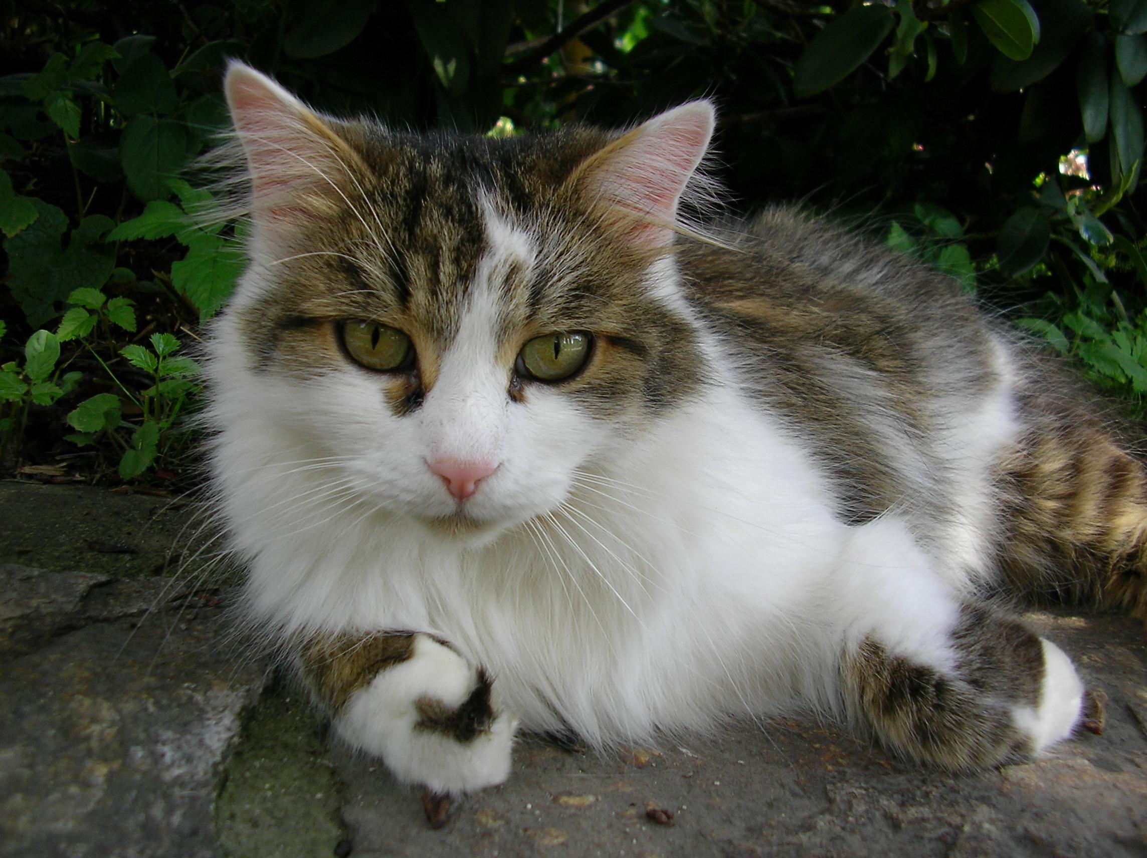 Hauskatze – Wikipedia verwandt mit Katzenbilder Zum Ausdrucken