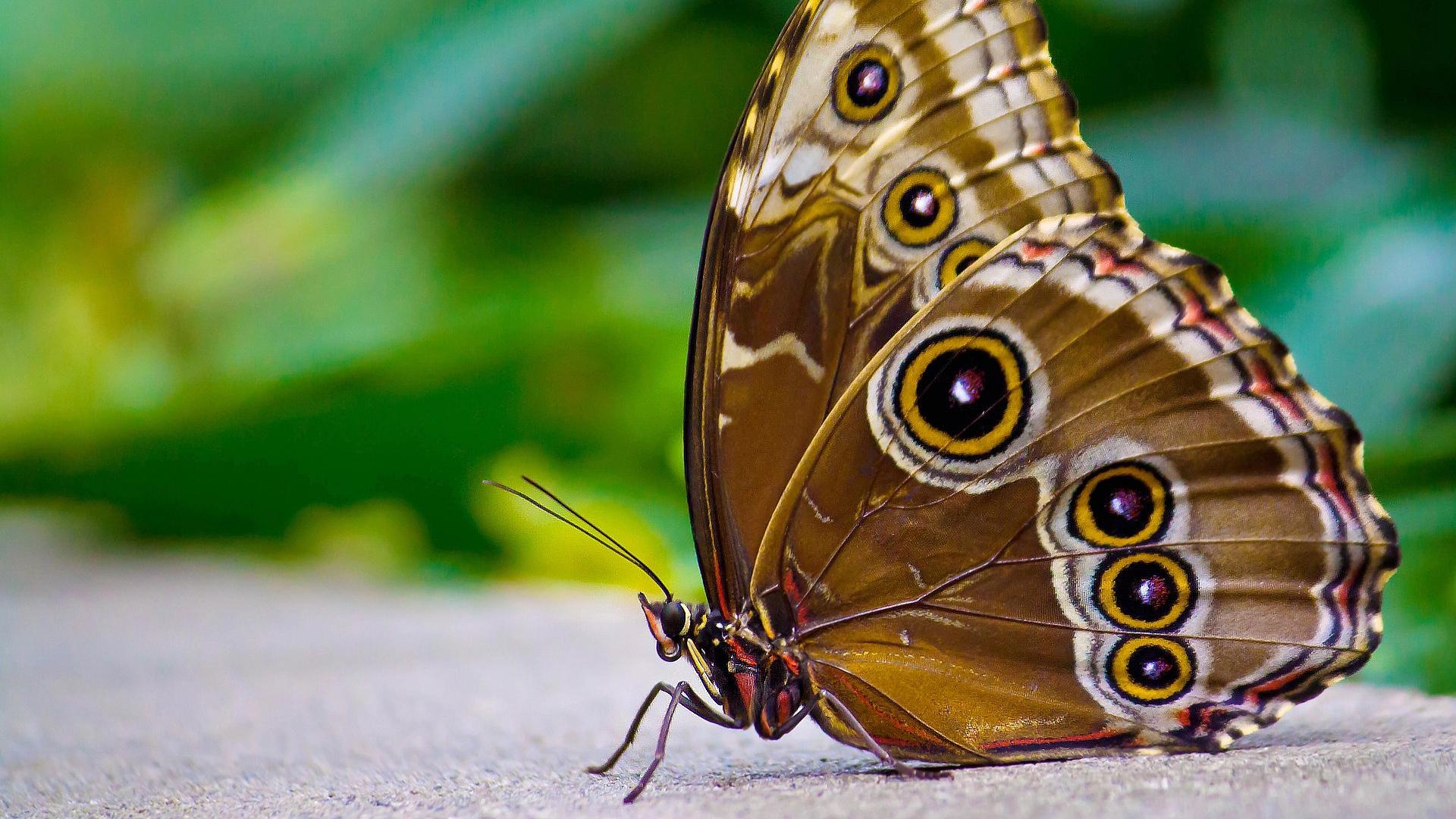 Hd Hintergrundbilder Schmetterling Braun Muster Flügel verwandt mit Schmetterling Insekt