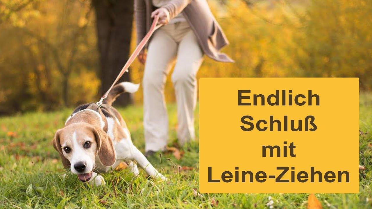 Hundeerziehung-Seminar: Schluss Mit Leine Ziehen, In 30 Minuten Leinenführig in Hund Zieht Stark An Der Leine Was Tun