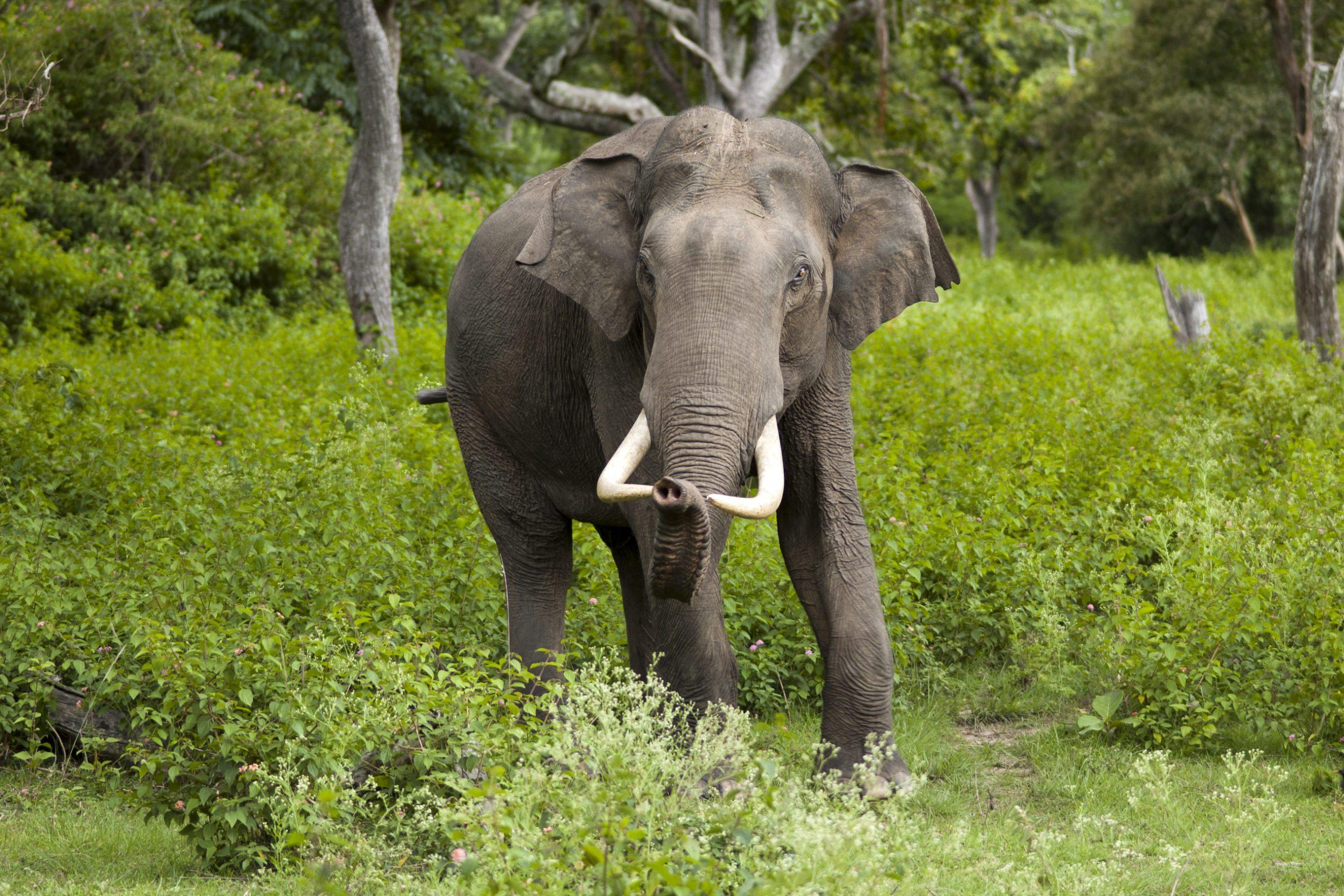 Indischer Elefant – Wikipedia in Indische Und Afrikanische Elefanten