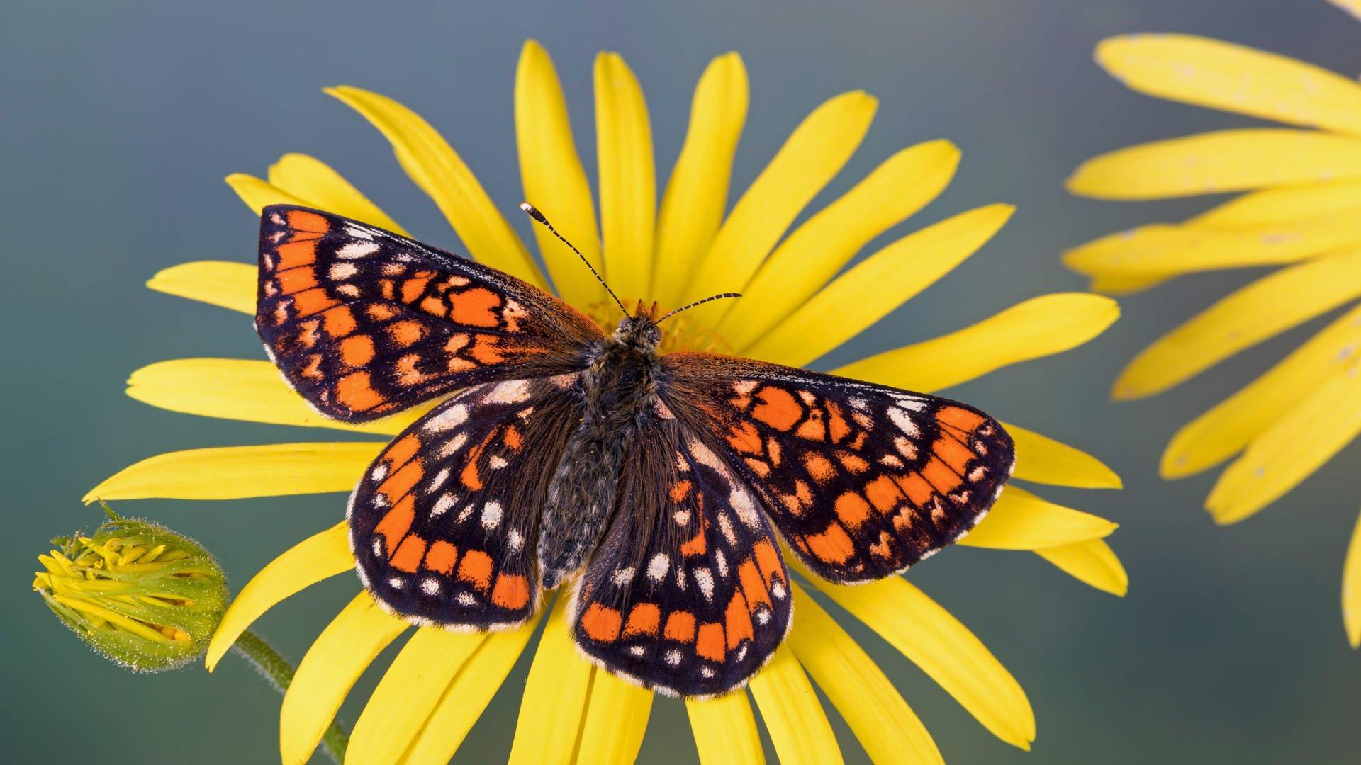 Insektensterben Zu Viel Dünger Schadet Schmetterlingen in Schmetterling Insekt