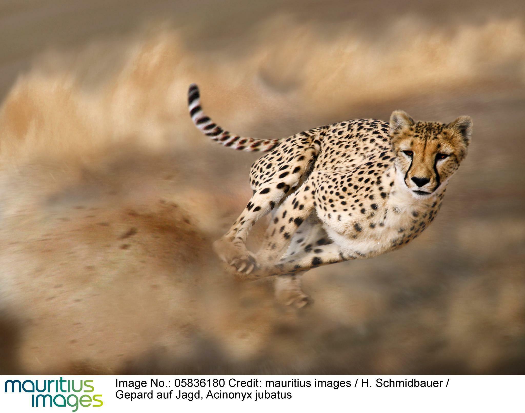 """Kolumne """"losgelaufen"""": Was Läufer Von Tieren Lernen Können ganzes Was Ist Das Schnellste Tier Der Welt"""