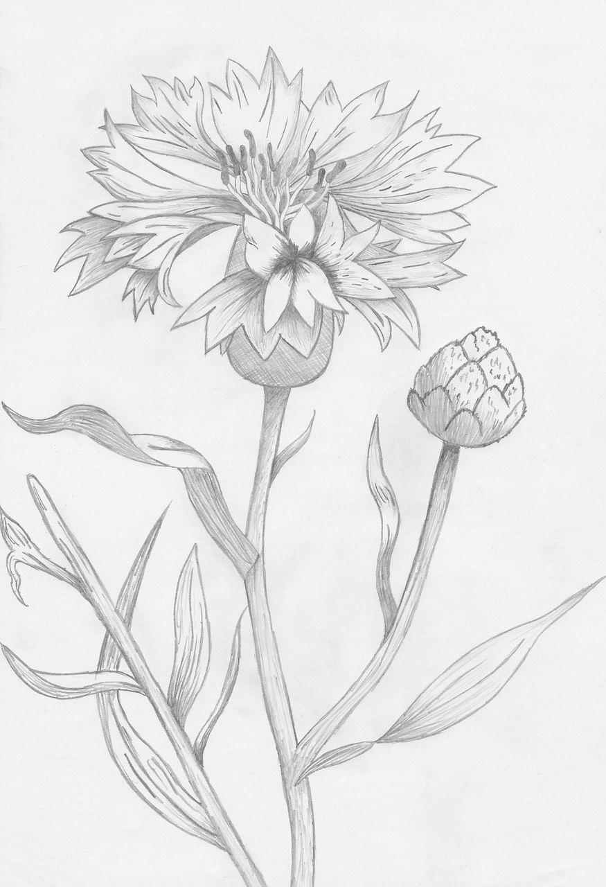 Kornblume: Blüte, Pflanzen, Zeichnung, Kornblumen Von Brinam verwandt mit Bleistiftzeichnungen Blumen