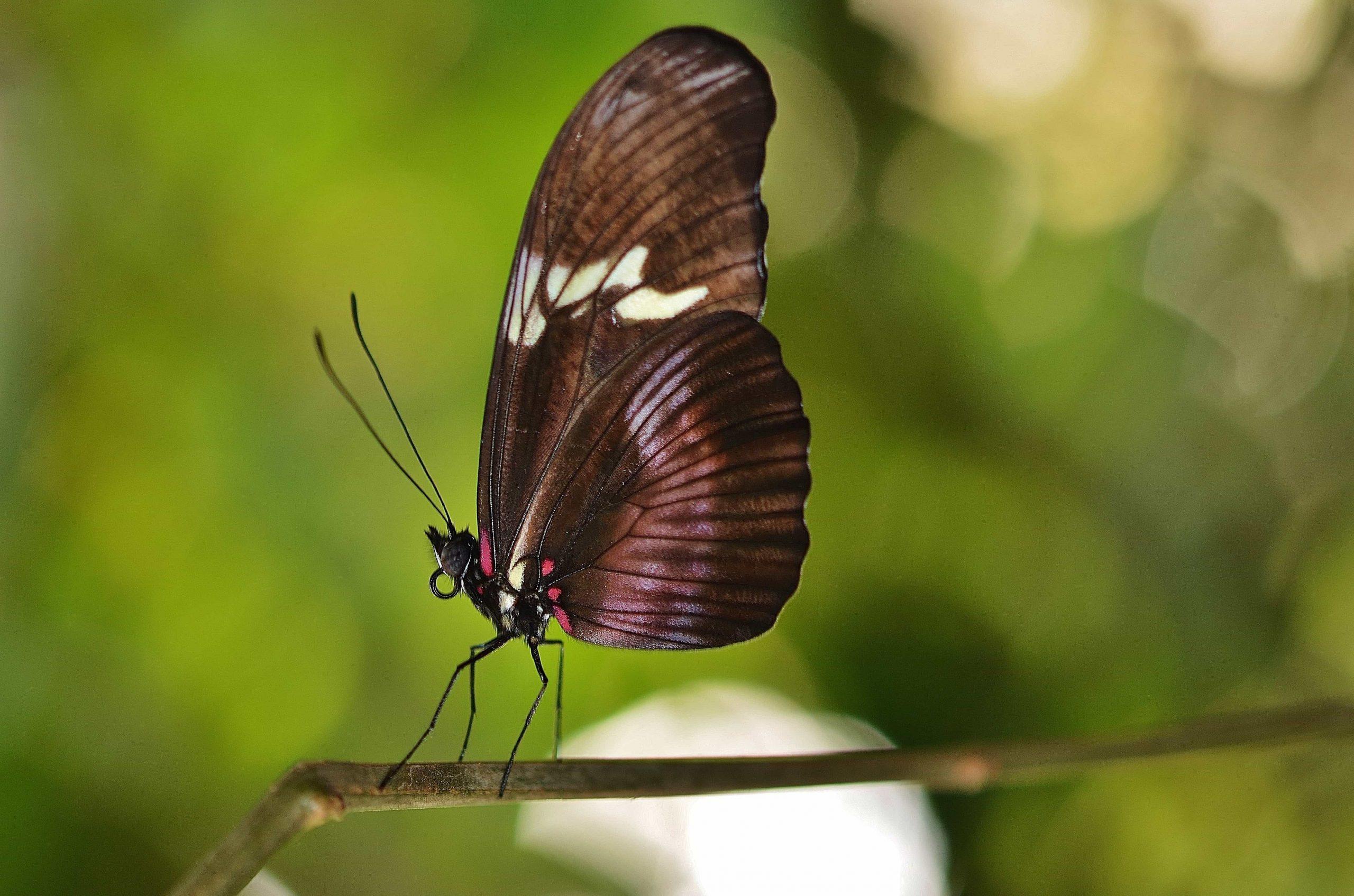 Kostenlose Bild: Schmetterling, Insekt, Garten, Bunt bestimmt für Schmetterling Insekt