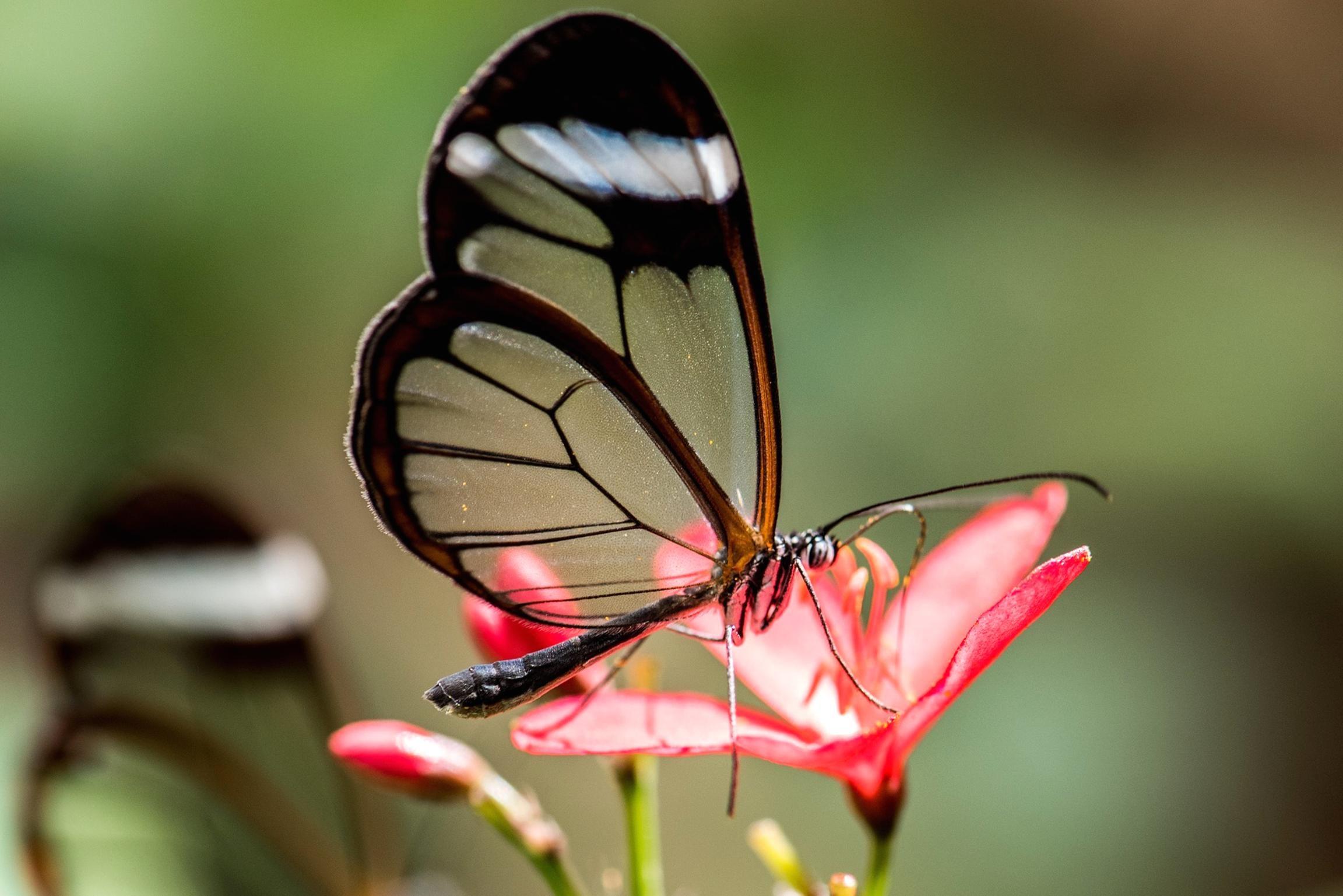 Kostenlose Bild: Schmetterling, Insekt, Natur, Sommer, Tierwelt bestimmt für Schmetterling Insekt