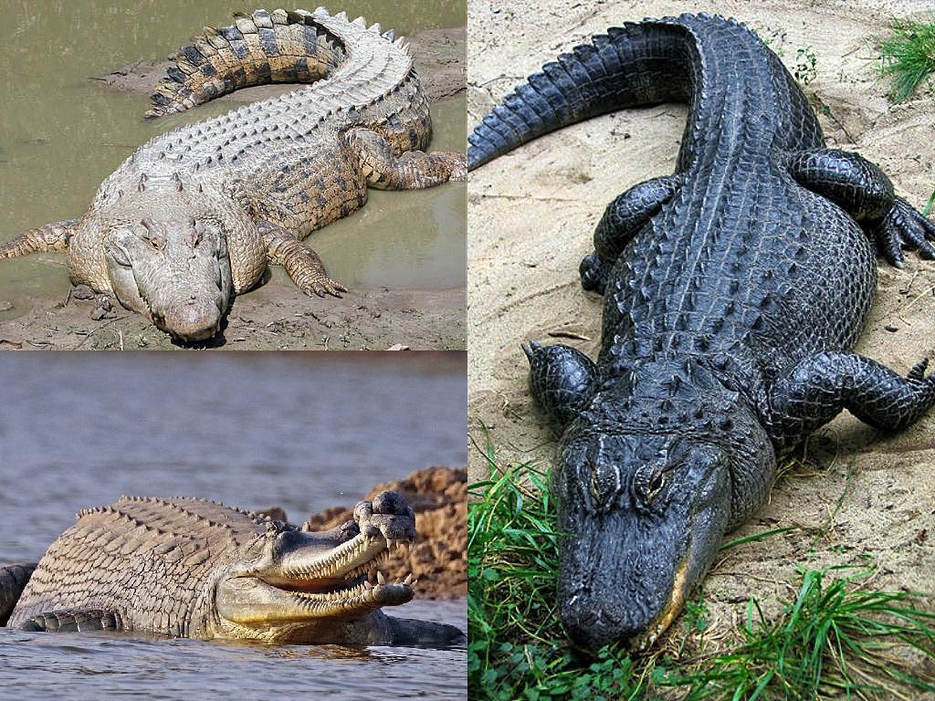 Krokodile – Wikipedia bestimmt für Warum Weinen Krokodile Beim Fressen