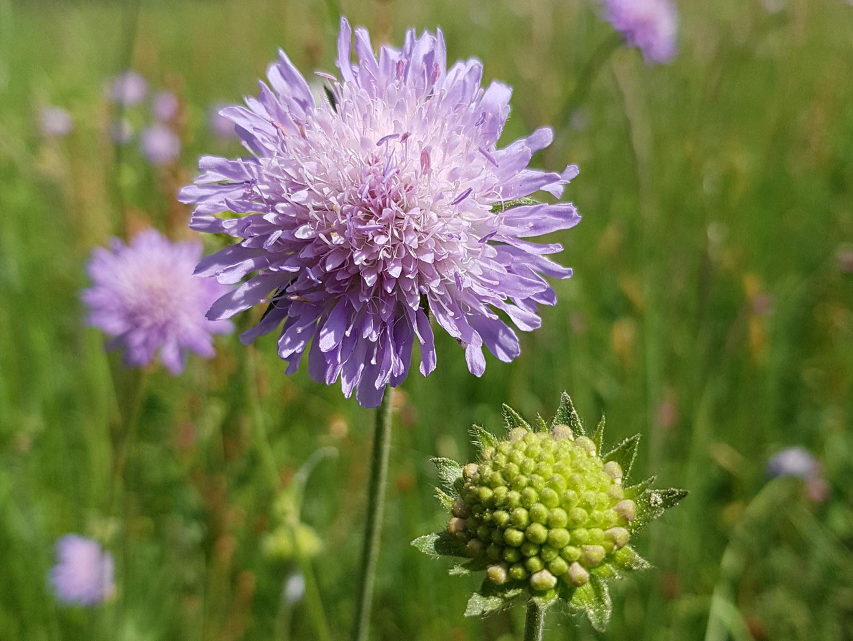 Lebensraum Wiese - (Wild)Pflanzen-Lexikon A-Z | Übersicht verwandt mit Wiesenblume Violett