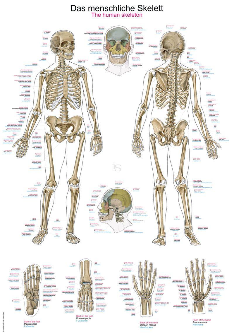 Lehrtafel Das Menschliche Skelett, Deutsch, Englisch, Latein verwandt mit Skelett Ausdrucken
