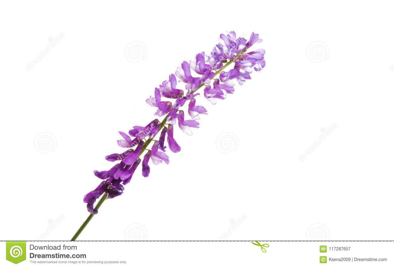Lila Wiesenblume Stockbild. Bild Von Blume, Bündel innen Wiesenblume Violett