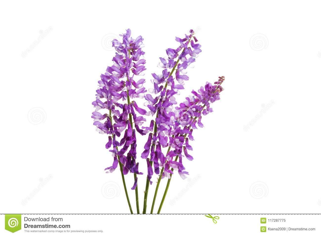 Lila Wiesenblume Stockbild. Bild Von Weiß, Nahaufnahme über Wiesenblume Violett