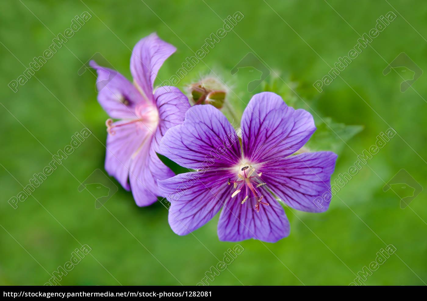 Lizenzfreies Bild 1282081 - Wiesenblumen in Wiesenblume Violett