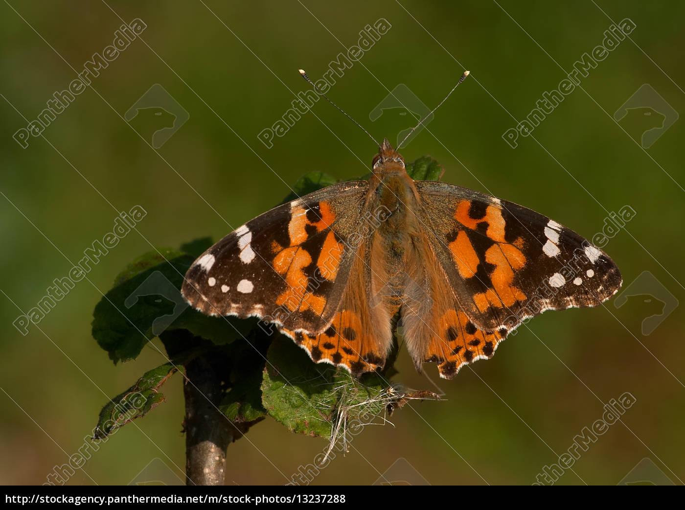 Lizenzfreies Foto 13237288 - Schmetterling Insekt Schmetterlinge Insekten  Falter verwandt mit Schmetterling Insekt
