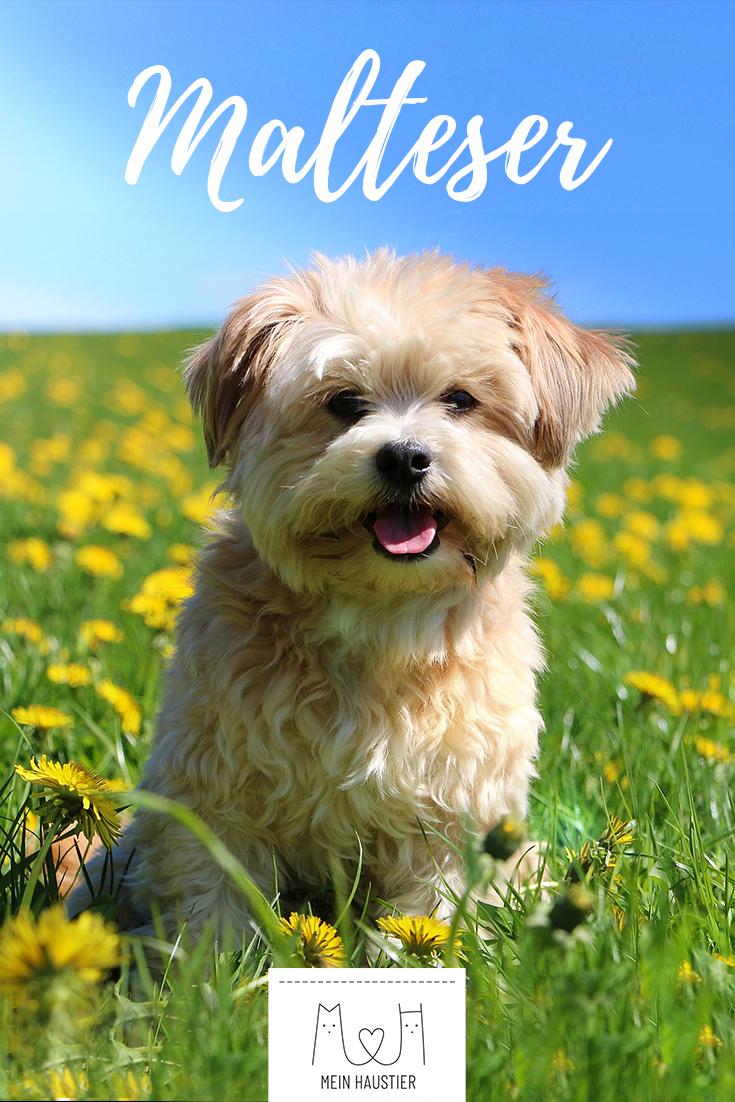 Malteser Hund Steckbrief (Mit Bildern) | Hunderassen, Hunde über Hunderasse 7 Buchstaben