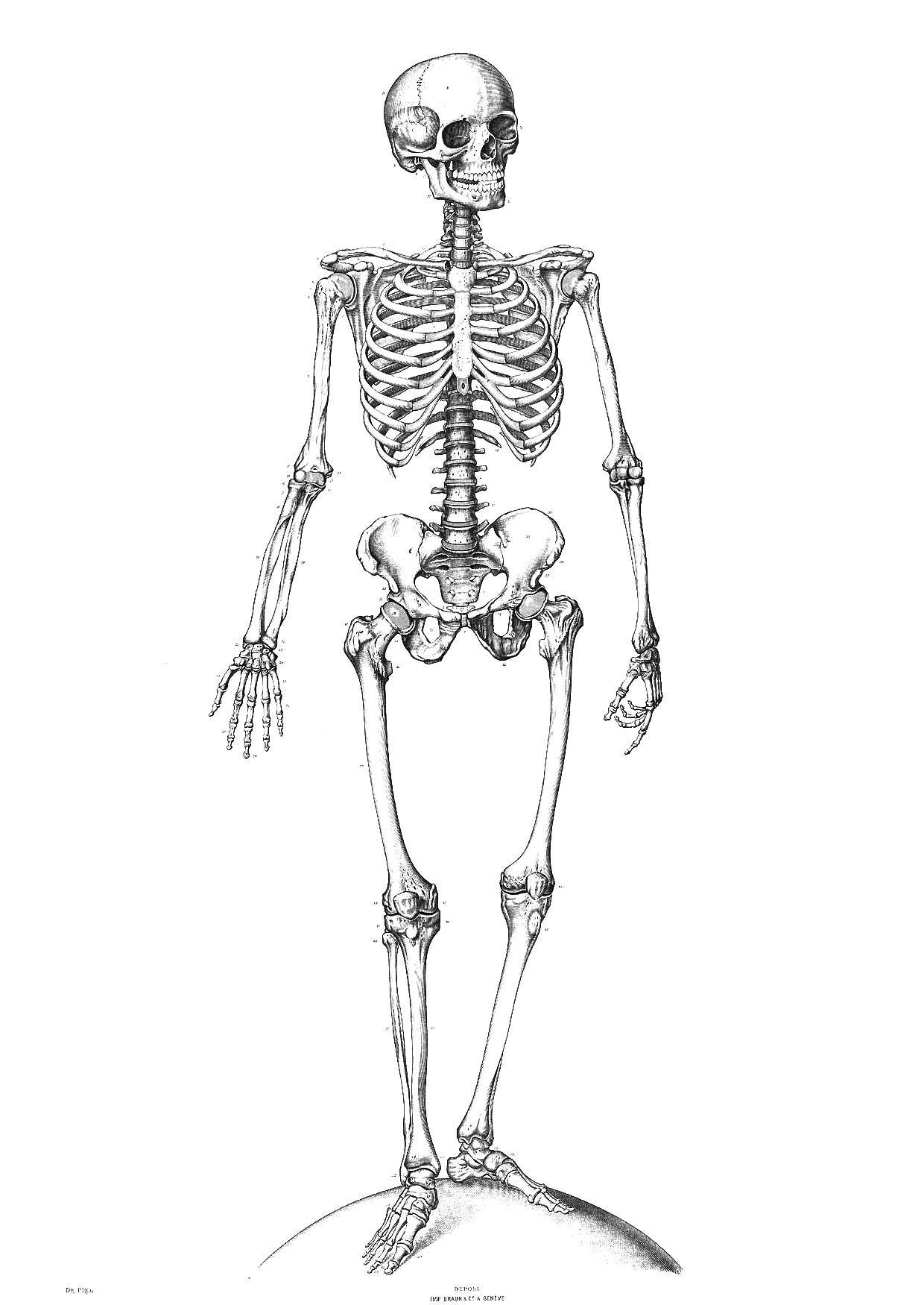 Malvorlage Skelett - Kostenlose Ausmalbilder Zum Ausdrucken. mit Skelett Ausdrucken