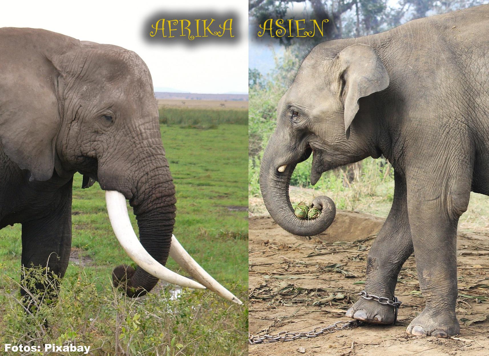 Mayday Elefanten - Über Die Elefanten › Mayday Elefanten in Unterschied Afrikanischer Und Indischer Elefant